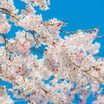 桜PHOTO2018